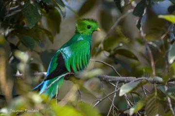 quetzal mâle