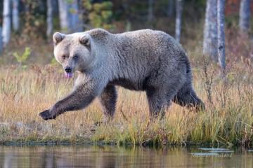 la langue à l'ours