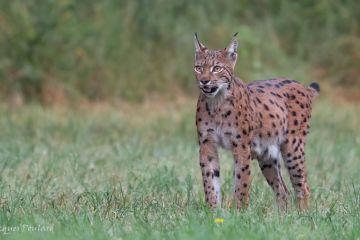 Lynx femelle, Bugey, plateau d'Hauteville, France